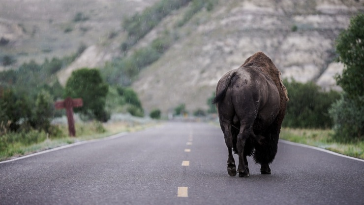 Day 14 // Been laying low a couple days. Another rainy bison moment from last week.